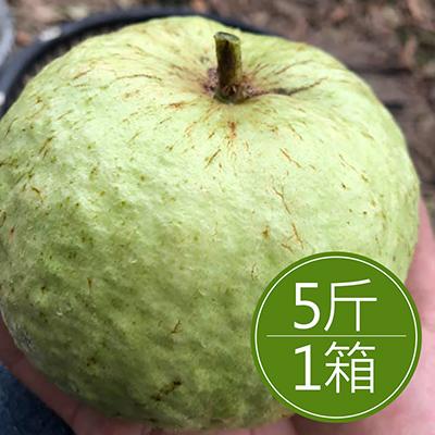 高雄大樹 水蜜芭樂(5斤/箱)